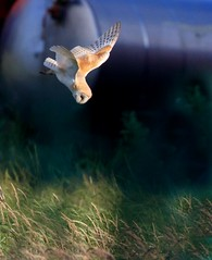 Barn Owl steep dive (Medium) (Ted Humphreys Nature) Tags: barnowl owls raptors birdsofprey tedhumphreysnature