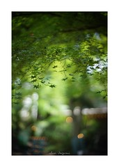 2018/8/2 - 9/15 photo by shin ikegami. - SONY ILCE‑7M2 / 七工匠  7artisans 50mm f1.1 (shin ikegami) Tags: 紅葉 sky 空 井の頭公園 吉祥寺 summer 夏 asia sony ilce7m2 sonyilce7m2 a7ii 50mm 七工匠 7artisans 7artisans50mmf11 tokyo photo photographer 単焦点 iso800 ndfilter light shadow 自然 nature 玉ボケ bokeh depthoffield naturephotography art photography japan earth