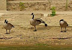 Three geese (Pwern2) Tags: stretching geese goose bird riverbank theforks assiniboine assiniboineriver urbanwildlife sand water rock current waterflow flow pathway birdwatching birds family protectors connection bond
