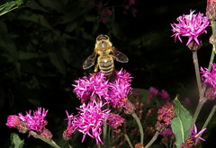 Honey Bee In Flight To Tall Ironweed Flowers IMG_9501 (Ted_Roger_Karson) Tags: northern illinois bee honey flying hand held camera sloitary macro flowers super bumble flower thisisexcellent lens flowerhead yard friends twop bug hd fuji eyes m150 macroscopic pollen animal outdoor insect pollinator plant depth field backyard animals garden bees