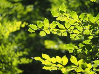 Beech Tree Wood Leaf Leaves Nature Forest Wood © Buche Baum Blatt Laub Natur