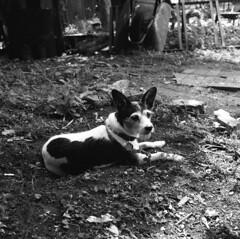 amelie (kaumpphoto) Tags: rolleiflex 120 tlr ilford bw black white canine fur paw wheelbarrow dirt garden companion collar tag coat