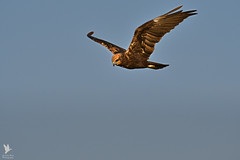 Marsh Harrier - Tartaranhão-dos-paúis (anpena) Tags: birds birdsofprey harriers marshharrier