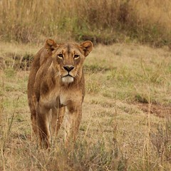 Perky ears (Nagarjun) Tags: lioness nairobinationalpark kenya eastafrica wildlife carnivore bigcat bigfive female safari gamedrive