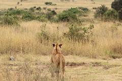 Surveying the savannah (Nagarjun) Tags: lioness nairobinationalpark kenya eastafrica wildlife carnivore bigcat bigfive female safari gamedrive