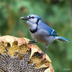 Blue Jay (jklewis4) Tags: backyard bird birds blue bluejay feeder sunflowerhead
