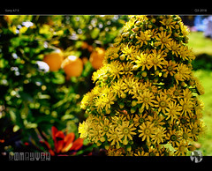 Spring Sun (tomraven) Tags: sun flowers garden lemon green sunshine spring tomraven aravenimage q32018 sony a7ii bokeh light foliage closeup macro flowermacro