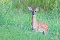 Whitetail Fawn (Steve Creek) Tags: deer whitetail fawn oklahoma sequoyahnationalwildliferefuge nationalwildliferefuge wildlife