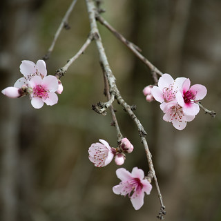 Tiny Pink Blossoms in Spring