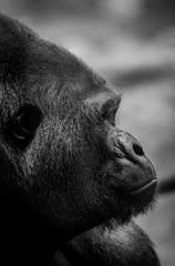 Profilaufnahme Gorilla (maik_sen) Tags: gorilla ape affe zoo tierpark blackwhite black white schwarzweis profil profile tier animal nature natur monochrom monochrome porträt portrait animalportrait tierporträt tierfotografie strong stark big gros