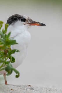 Common Tern - Sterna hirundo | 2018 - 1