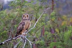 Mocho-dos-banhados (Maria*_*) Tags: asioflammeus mochodosbanhados owl