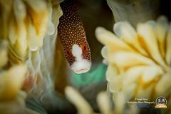 Braun's pughead pipefish (Sonja Ooms) Tags: anilao animal brauni bulbonaricus bulbonaricusbrauni brauns braunspugheadpipefish macro nature philippines pipefish sea syngnathidae underwater water whitedots pughead red