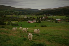 Lamb / Lam (KvikneFoto) Tags: lam lamb sau sheep landskap norge hedmark kvikne nikon1j2