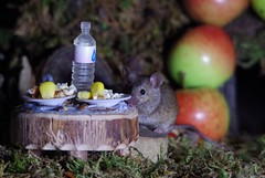 wild garden mouse  (8) (Simon Dell Photography) Tags: wild garden house mouse nature animal cute funny fun moss covered log pile acorns nuts berries berrys fuit apple high detail rodent wildlife eye ears door home sheffield ul old english country s12 simon dell apples autumn fall winter fruits seasonal photography