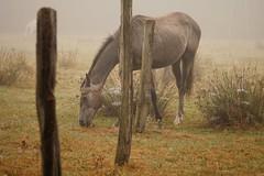 Wildpferd im Nebel 2 (davidzimmermann1) Tags: horse pferd wildpferd wild nebel fog sony sonya6500 alpha 70200