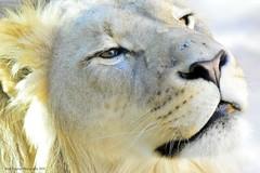 Hello 😊 (facebookfriends79) Tags: lion lions bigcat bigcats colorado photography nikond3200