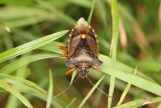 6K0A4520  Pentatoma rufipes. Forest or Red-legged Shield Bug