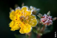 A cold morning of Autumn... (N.Batkhurel) Tags: season autumn ngc nikon nikond800 natur nikkor mongolia macro 105mm closeup flower flora ice