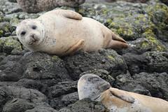 Curiosity - IMG_7370 (406highlander) Tags: commonseal seal phocavitulina dunvegan skye scotland lochdunvegan marine mammal animal sigma120400mmf4556apodgos harbourseal harborseal basking rock canoneos1300d