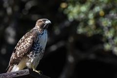 Red-tailed Hawk (juvenile) (Minder Cheng) Tags: tildenbotanicgarden redtailedhawk tildenregionalpark berkeley california unitedstates us