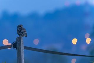 Chevêche d'Athena Little Owl - Athene noctue