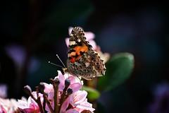 Skoenlapper / Butterfly 2 (roanfourie) Tags: 70300mmafpdx green pink bokeh butterfly flower flowers plant plants light day outdoors photography nikon d3400 nikkor 70300mm ed dx afp vr f63 dslr raw gimp flickr southafrica africa westrand randfontein september162018 september 2018 spring vanessacardui