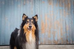 37/52 Leia & pretty face (shila009) Tags: dog leia roughcollie portrait retrato blue azul 3752