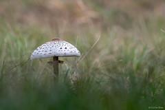 Parasol Mushroom (Corine Bliek) Tags: macrolepiotaprocera nature natuur mushrooms champignons paddestoelen