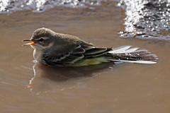 yellow wagtail (Eplore) (DODO 1959) Tags: wildlife yellowwagtail birds animal nature avian outdoor fauna water migrant olympus omdem1mk2 300mmf4 micro43 x14converter wales llangors lake