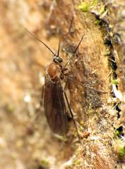 Dark-winged Fungus Gnat (treegrow) Tags: newzealand nature lifeonearth raynoxdcr250 insect arthropoda diptera fly sciaridae