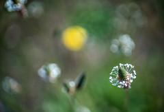 Weedy bokeh (OzzRod) Tags: sony a7rii smcpentaxfa43mmf19 bokeh weeds