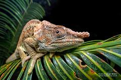 Short-horned chameleon (Calumma brevicorne) - DSC_3052 (nickybay) Tags: africa madagascar macro andasibe calumma brevicorne chameleon chamaeleonidae shorthorned laowa 15mm