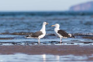 ''On t'a à l'oeil!''Goéland marin-Great black-backed gull