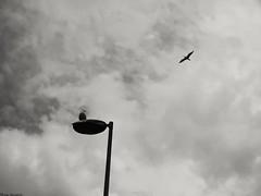 "Waiting for departure (ICE DESERT "" Ahmed "") Tags: birds bird seagull seagulls fly flying lightpole sky clouds cloudy bulutlar kuşlar martı نورس طير طيور نوارس سماء سحاب سحب huawei p20pro هواوي هواويالعربية phonephotography noir siyahbeyaz bnw"