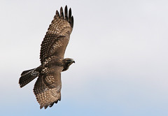 Catching A Thermal (Bill G Moore) Tags: redtailhawk birdofprey naturephotography raptor wild wildlife soaring thermal brown canon wings feathers