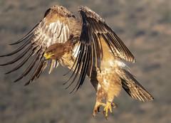 Tawny Eagle - Zimanga - South-Africa (wietsej) Tags: tawny eagle zimanga southafrica sony rx10 rx10iv rx10m4 bird prey flight bif nature