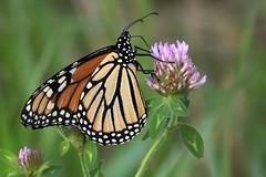 2018 Monarch Butterfly 056 - Danaus Plexippus (Chrisser) Tags: insects insect butterflies butterfly monarch danausplexippus nature ontario canada canoneosrebelt6i canonef75300mmf456iiiusmlens nymphalidae