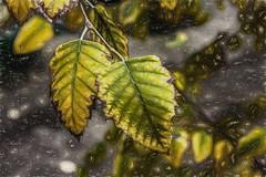 A Pair (p) (davidseibold) Tags: america backyard bakersfield california garden jfflickr kerncounty leaf painting photosbydavid plant platoct postedonflickr riverbirch tree unitedstates usa