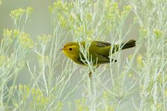Wilson's Warbler (9788) (Bob Walker (NM)) Tags: bird perching warbler wilsonswarbler wiwa chamisabush cardellinapusilla losalamos newmexico usa