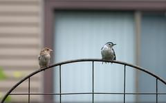 You come here often? (Dotsy McCurly) Tags: bird whitebreastednuthatch sparrow cute fun nature beautiful trellis yard nj newjersey nikond750 nikonafsnikkor200500mmf56eedvr handheld