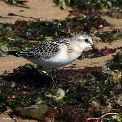 becasseau sanderling 16 (dmes55) Tags: dune oiseau bretagne bécasseau