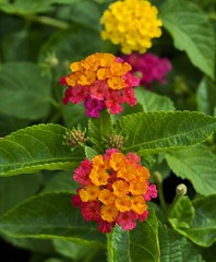 Lantana (Steve4343) Tags: steve4343 nikon d70s trail national forest red green blue yellow orange white clouds sky beautiful autumn beauty county lake cloud colorful woods garden gardens happy leaves rocks wildlife landscape mountain tree trees grass water wood summer spring macro flower flowers black northern thailand lantana
