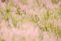 Soft Heather (ianbartlett) Tags: outdoor flowers insects bees light colour