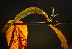 evening light - avondlicht (Stil Licht) Tags: acdsee ouddorp toppershoedje planten tak zonsondergang avond
