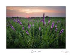 Sundown (baldwinm16) Tags: august il illinois blazingstar bloom blossom dusk flower midwest native nature naturepreserve outdoors outside prairie season summer sunset twilight wildflower