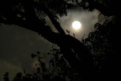 Moonlight revealing a tree (wuestenigel) Tags: spooky night revealing moon moonlight tree shadows nature silhouette sun sonne backlit hintergrundbeleuchtung sunset sonnenuntergang light licht mond landscape landschaft baum dawn dämmerung sky himmel dark dunkel evening abend shadow schatten dusk people menschen natur art kunst noperson keineperson monochrome einfarbig fog zahn