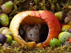 wild garden mouse inside a apple (2) (Simon Dell Photography) Tags: wild garden house mouse nature animal cute funny fun moss covered log pile acorns nuts berries berrys fuit apple high detail rodent wildlife eye ears door home sheffield ul old english country s12 simon dell photography
