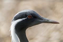 Demoiselle crane (Tambako the Jaguar) Tags: green demoisellecrane crane bird profile portrait black white beak zürich zoo switzerlandn nikon d5