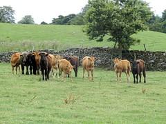 Swinithwaite, Slapestone Wath & West Witton 2.8.2018 (1) (bebopalieuday) Tags: yorkshiredales wensleydale swinithwaite templefarm calves calf cattle northyorkshire
